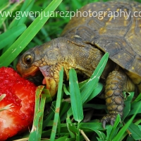Eating Tortoise