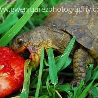 Eating Tortoise