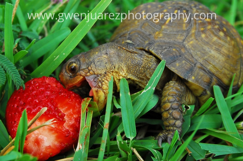 small tortoise eating strawberry, copyright Gwen Juarez Photography